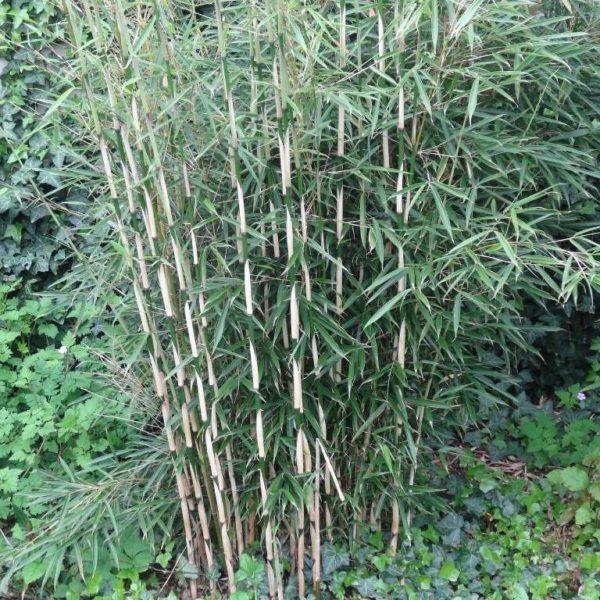 Fargesia robusta 'campbell' C5 100/120cm