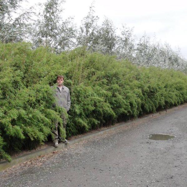 Fargesia jiuzhaigou 1 C5 100/120cm