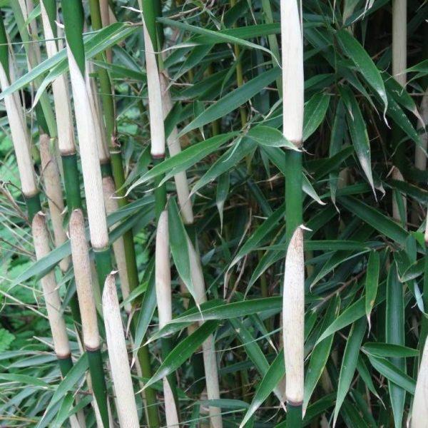 Fargesia robusta Campbell C2,5 60/90cm