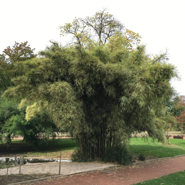 Pleioblastus simonii variegatus C20 120/150cm