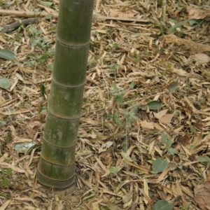 Phyllostachys edulis 50 graines