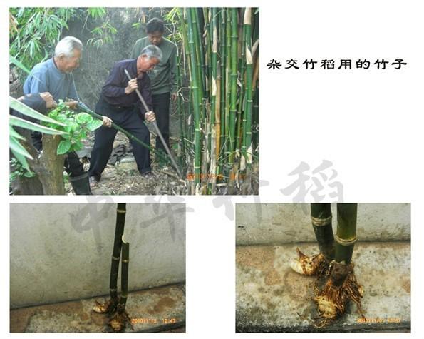Bambou X riz 1 sachet 50 graines