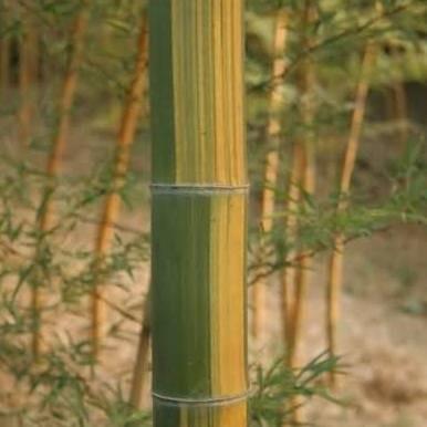 Phyllostachys edulis 'tao kiang' / 'nabeshimana' C7,5 120/150cm