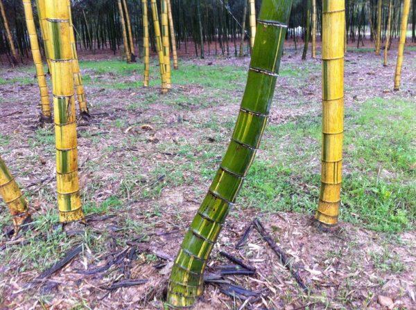 Phyllostachys edulis 'tao kiang' / 'nabeshimana' C50 150/200cm