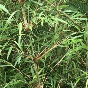 Fargesia dracocephala C2,5 50/70