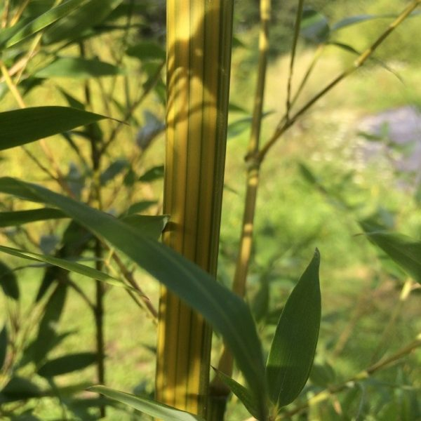 Phyllostachys aureosulcata 'argus' C5 40/60 cm