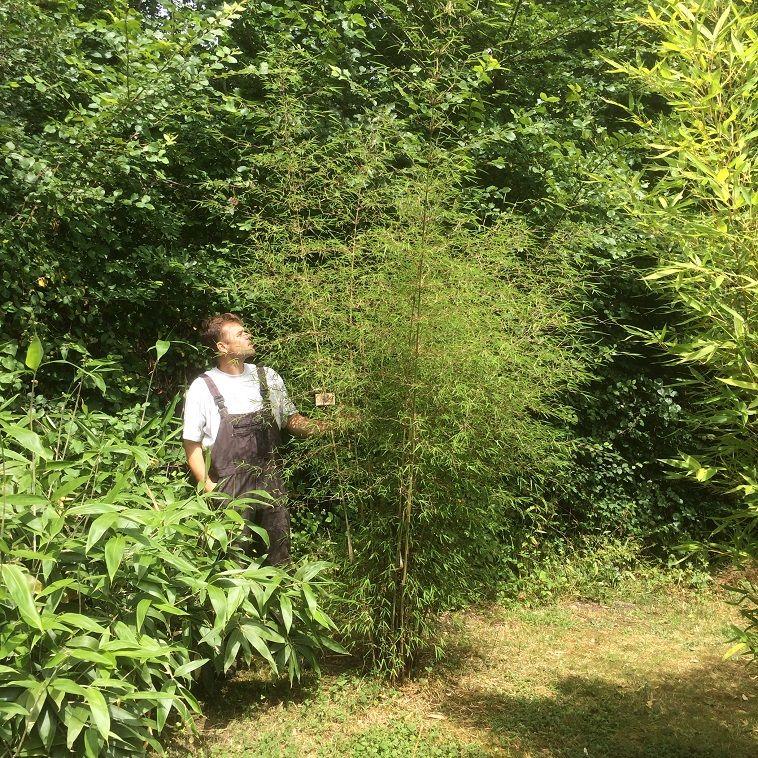 Yushania ferax ssp. angustissima C2,5 60/90cm