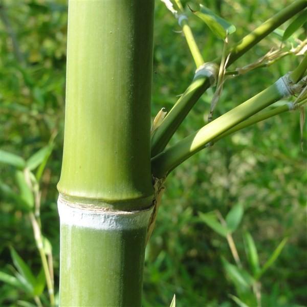 Phyllostachys parvifolia C15 120/150cm